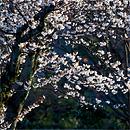 京都櫻花之旅:櫻前線 (序)