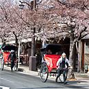 渡月橋:第一棵接觸的櫻花樹