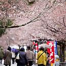 嵐山公園:初見櫻花隧道