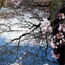京都賞櫻之旅:哲學之道
