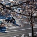 京都賞櫻:蹴上鐵道、南禪寺