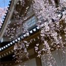 京都醍醐寺:觸手可及的垂櫻