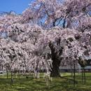 京都醍醐寺:枝垂櫻和古服